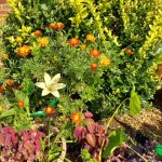 Showy Noble Goldenrod_Mexican Marigold_High Tea Lily.jpg