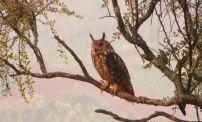 Indian Eagle Owl, Gudalur