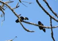 Heart-Spotted Woodpeckers, Thekkady