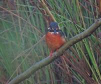 Small Blue Kingfisher, Ponneri