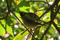 Black-Lored Tit and Blyth's Reed Warbler, Kodaikanal