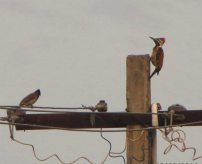 Red-Vented Bulbul and Lesser Flameback