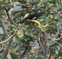 Black-Naped Oriole, Valparai