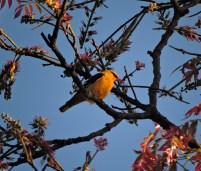 Golden Oriole, Valparai