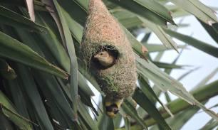 Baya Weaver (male & female), Pulicat