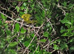Yellow-Browed Bulbul, Tamil Nadu