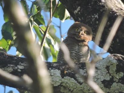 Jungle Owlet, Thekkady
