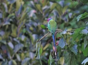 Plum-Headed Parakeet, Kerala