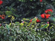 Plum-Headed Parakeets, Kerala