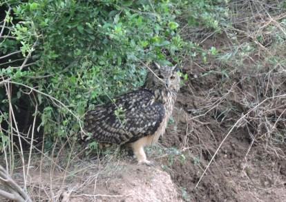 Indian Eagle Owl, Tamil Nadu