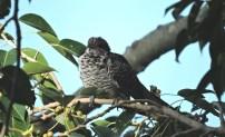 Asian Koel, Vedanthangal