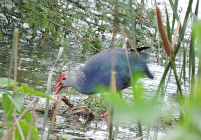 Grey-Headed Swamphen