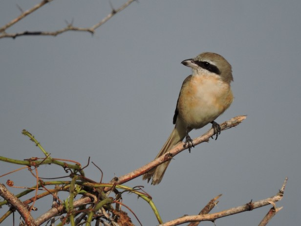 Long-Tailed Shrike, Chennai