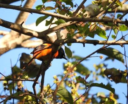 Orange Minivet, Valparai