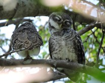 Spotted Owlets, Chennai