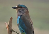 Indian Roller - Vedanthangal