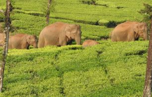 Indian Elephants, Meghamalai