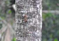 Southern Flying Lizard, Thattekad