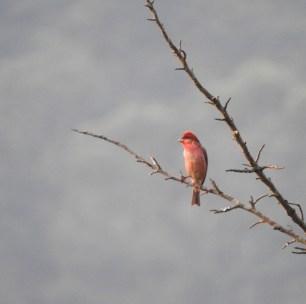 Rosefinch, Kodaikanal