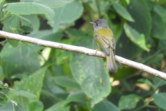 Grey-Headed Canary Flycatcher, Palani Hills
