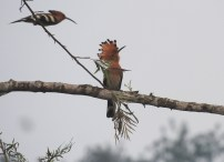 Common Hoopoes, Anaimalai Hills