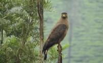 Crested Serpent Eagle, Anaimalai Hills