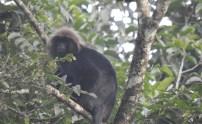 Nilgiri Langur, Anaimalai Hills