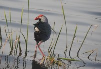 Grey-Headed Swamphen, Pallikaranai