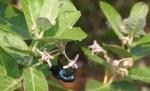 Purple Sunbird, Chennai