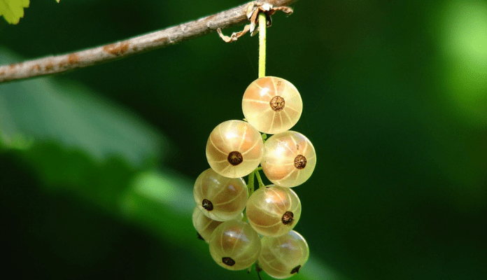 The-Goodness-of-Gooseberries