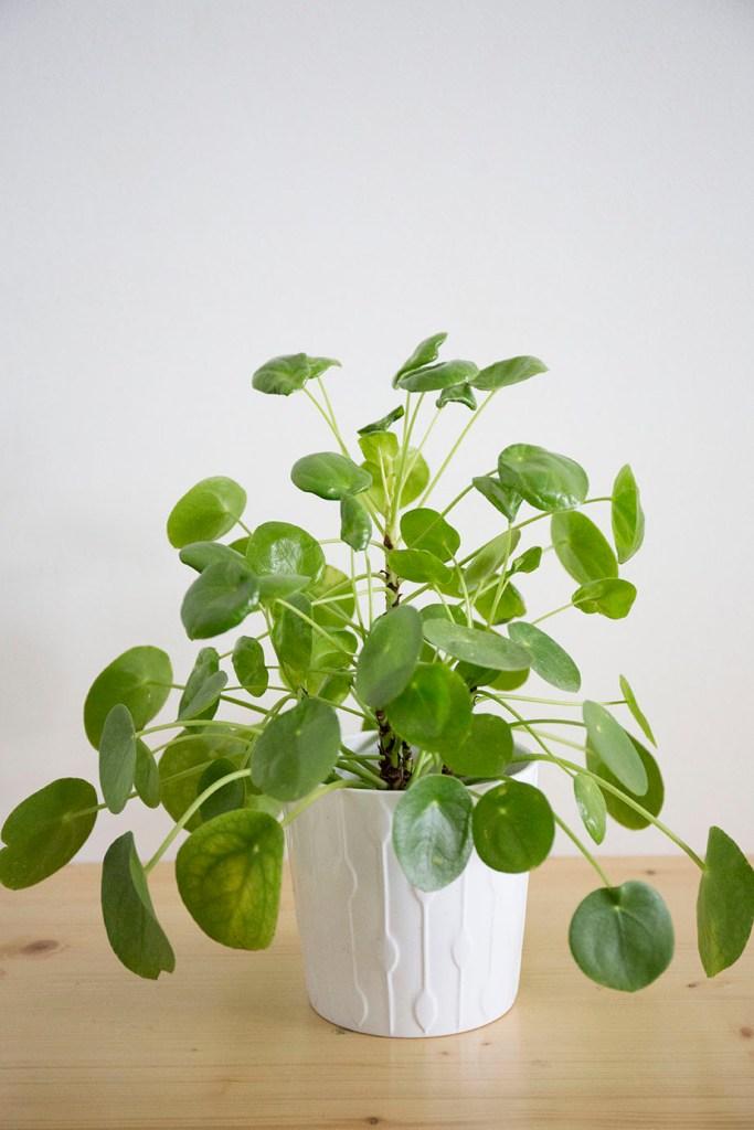 interieur pilea plante