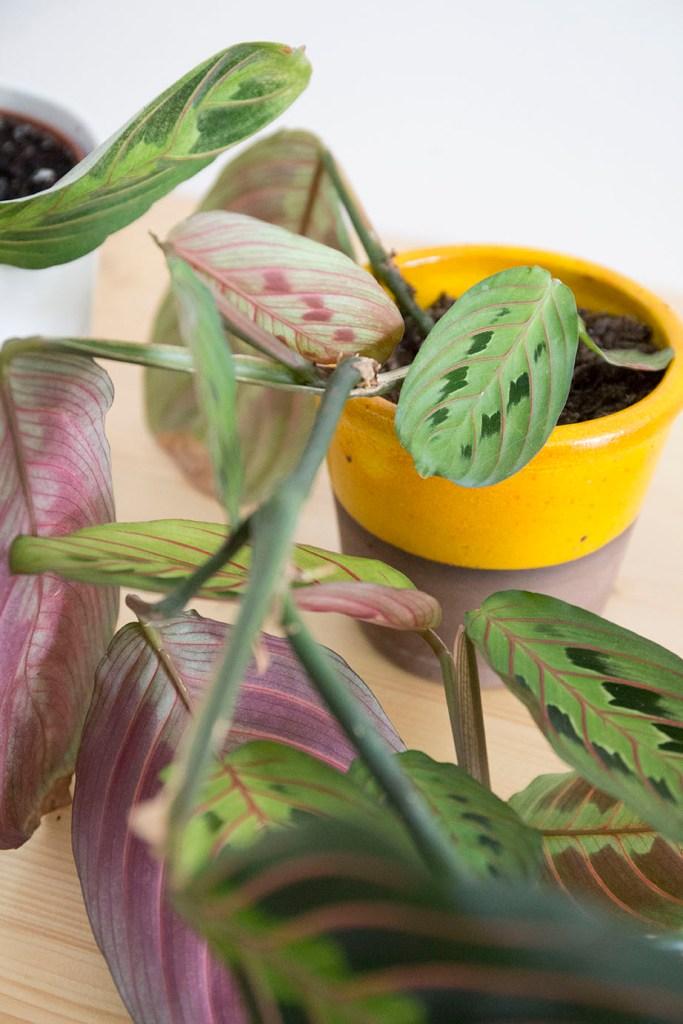 maranta soleil plante interieur