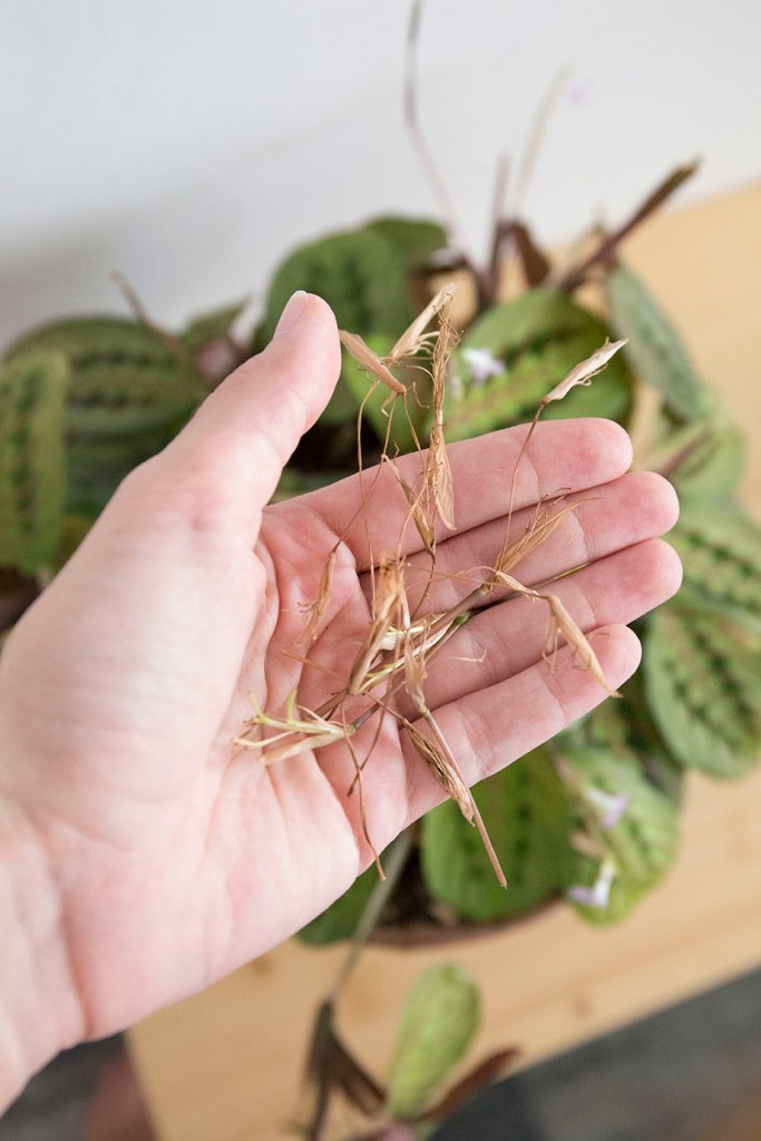 plante grasse maranta