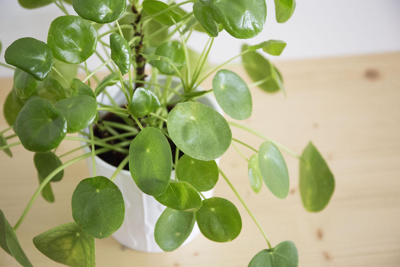 plante interieur pilea