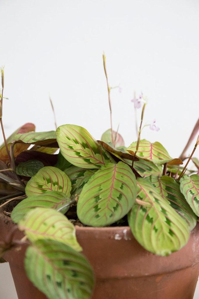 soleil plante interieur maranta