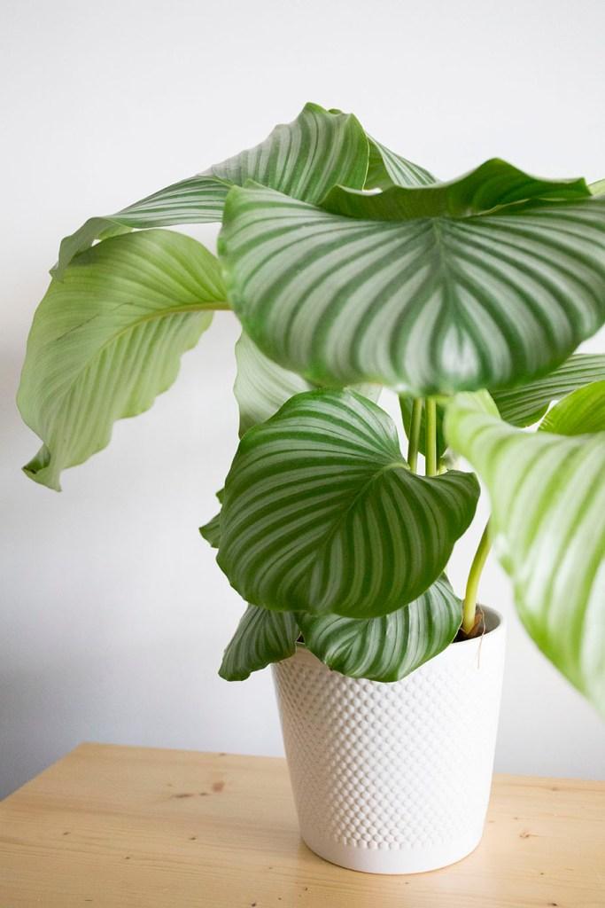 plante-calathea orbifolia interieur