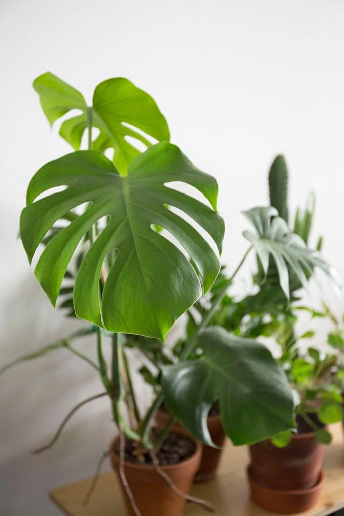 plantes monstera verte