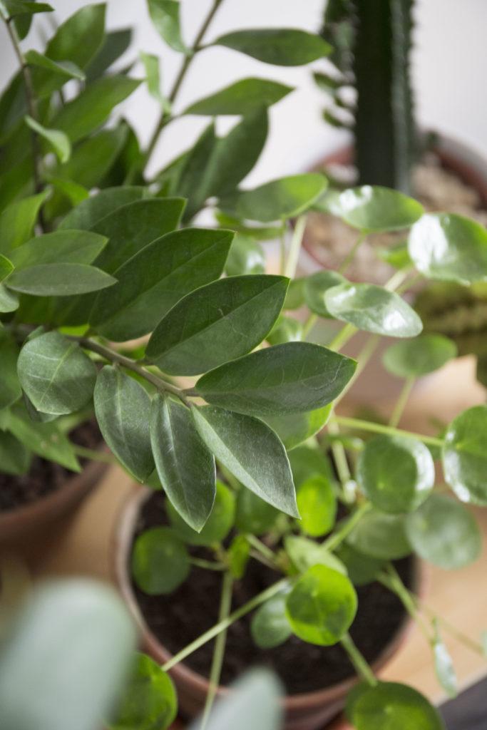 zomioculcas plante robuste