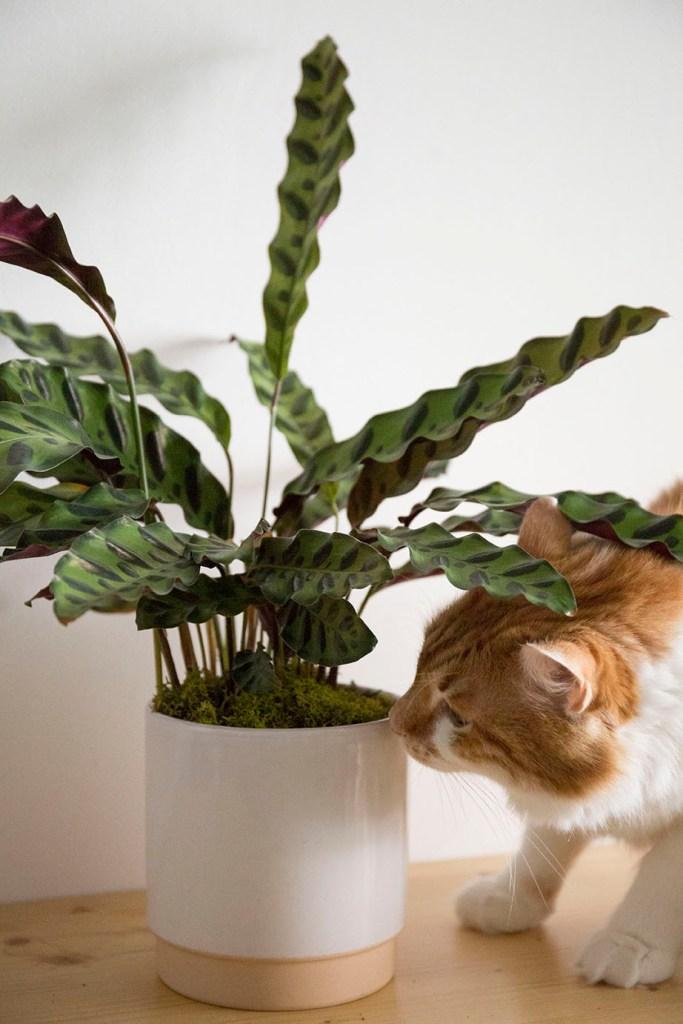 chat roux plante
