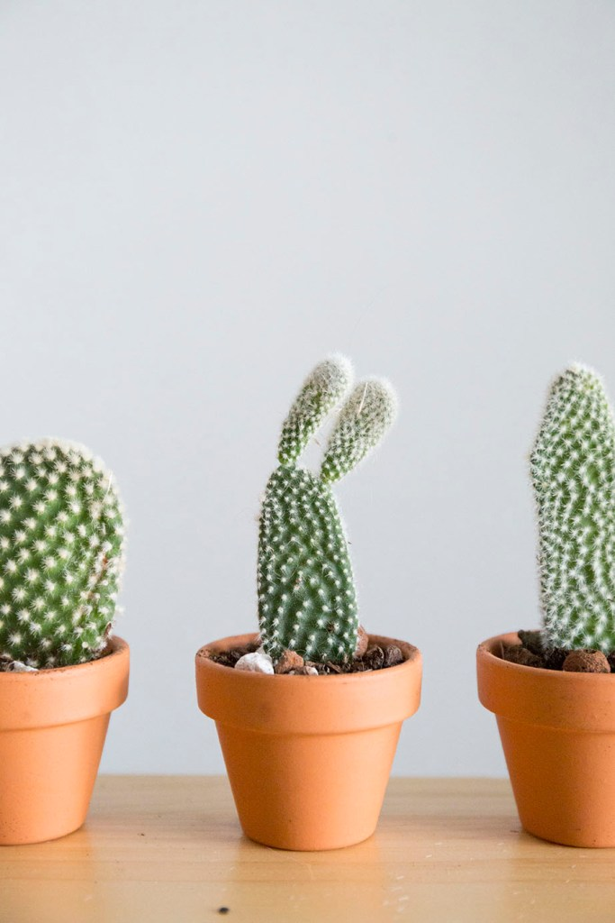 cactus boutures plante