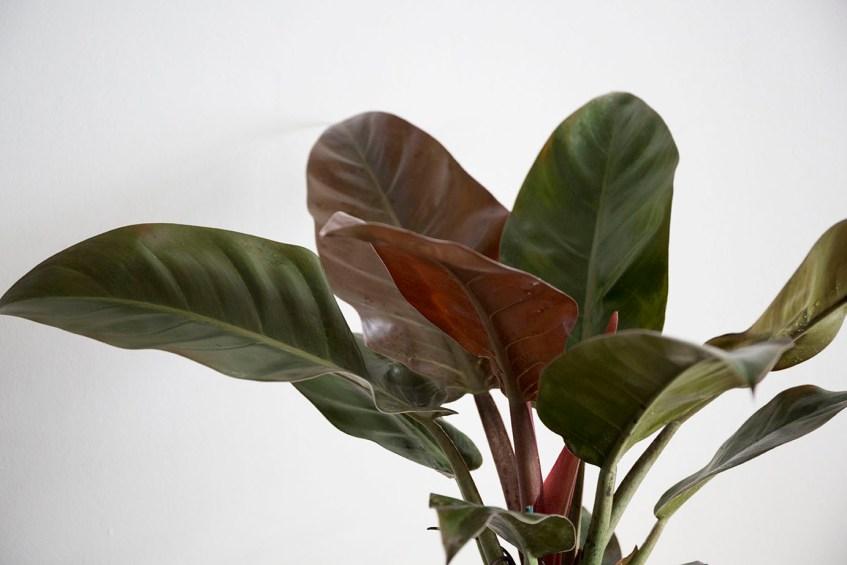 philodendron plante interieur