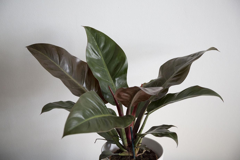 plantes interieur philodendron