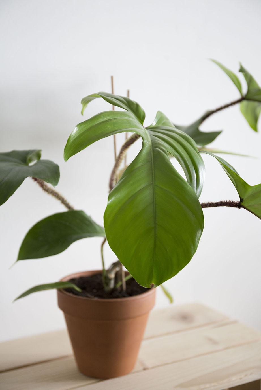 philodendron plante verte
