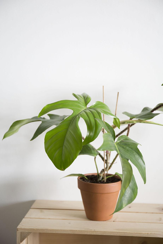 philodendron squamiferum plante