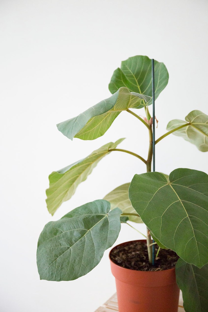 plante interieur ficus everest