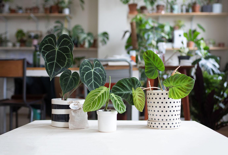 plante rare noe bouture