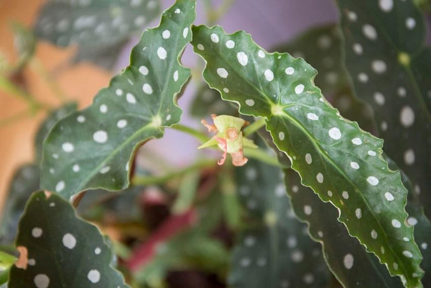 plantes intérieur pincer