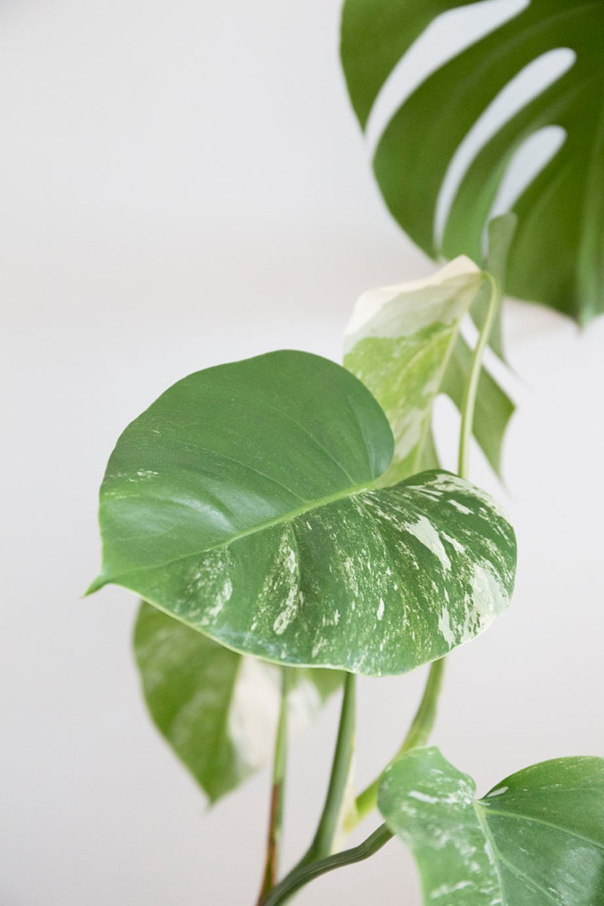 monstera variegata rare