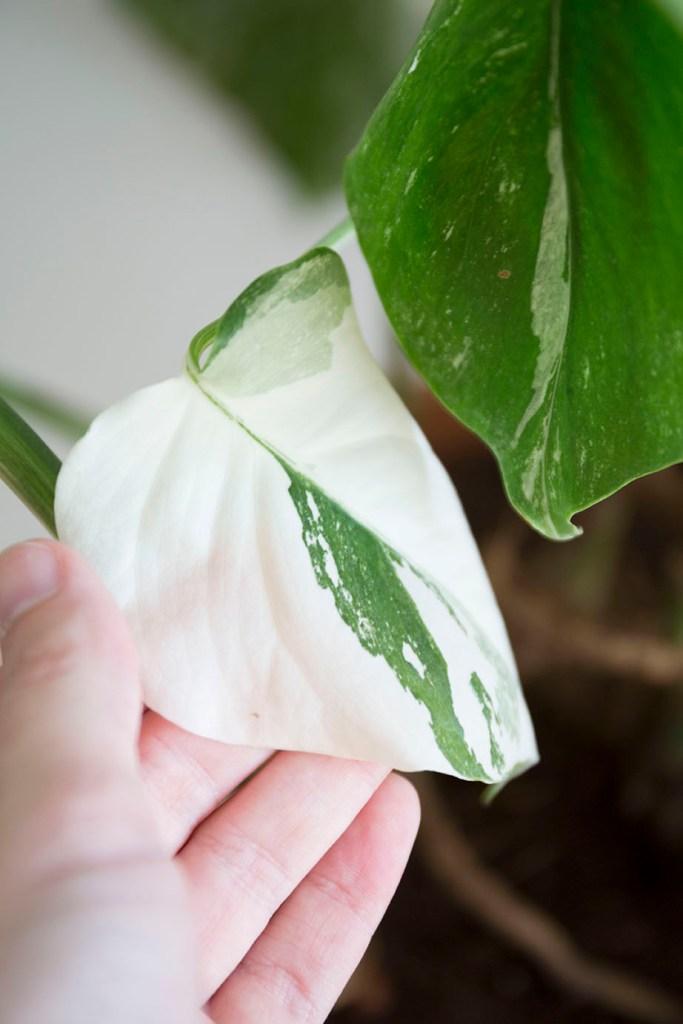 rare plante variegata