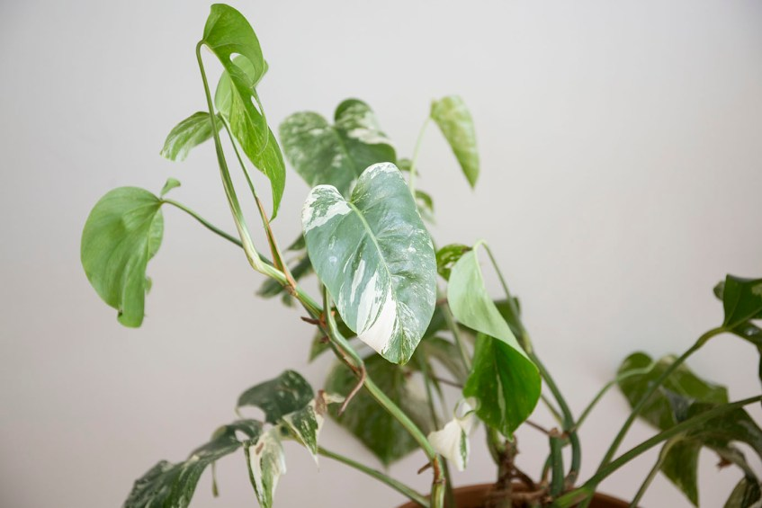 variegata monstera plante